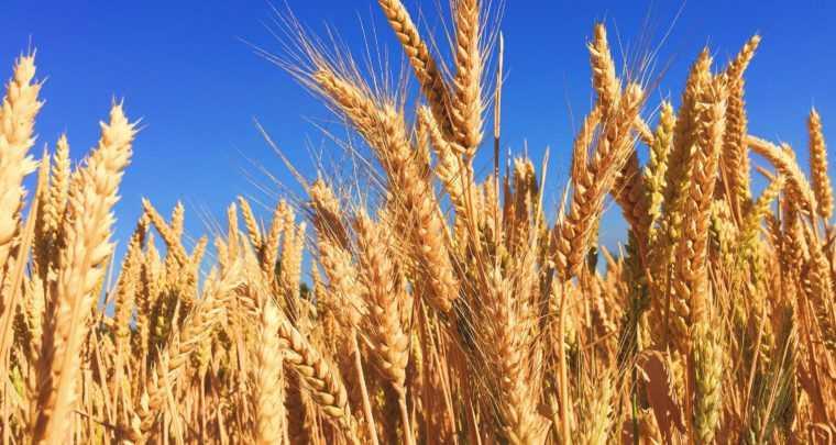 Сертификация зерна: отделяем зерна от плевел